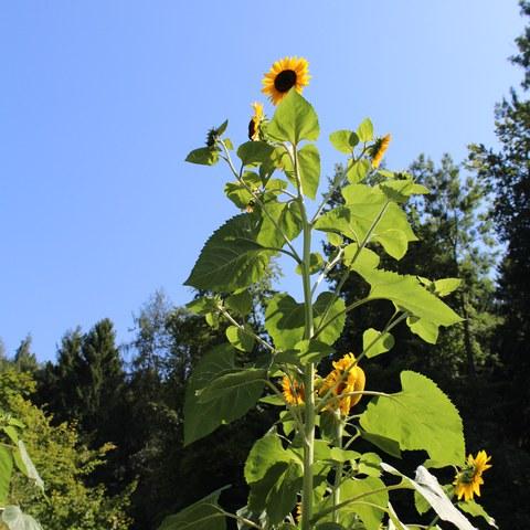Grosse Sonnenblumen.JPG