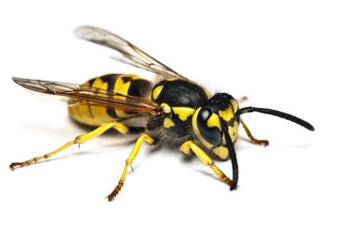 Die gemeine Wespe