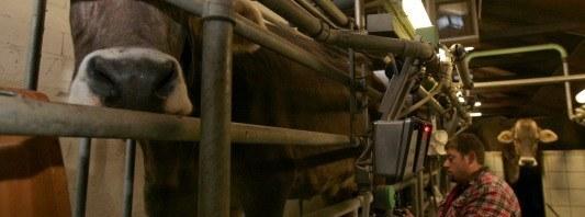 Landwirt bei der Melkarbeit