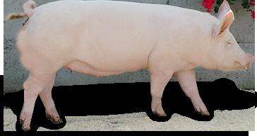 Edelschwein