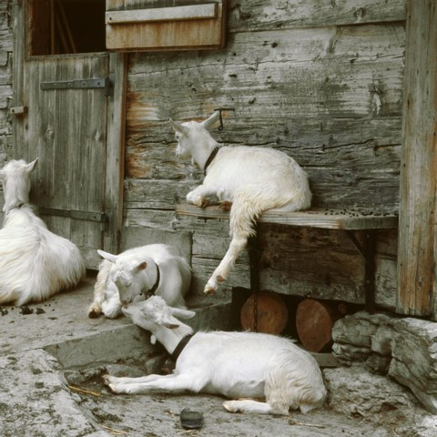 Ziegen vor dem Alpstall Rüte (AI)